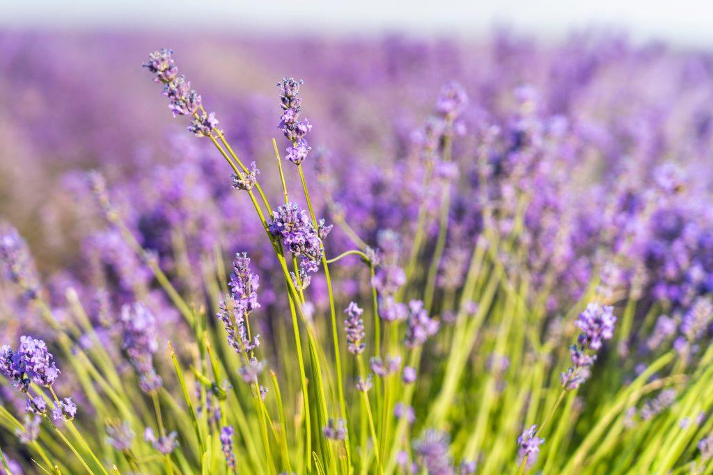 Des huiles essentielles pour calmer les douleurs inflammatoires