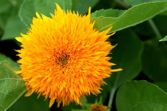Quels sont les bienfaits de la fleur de carthame ?