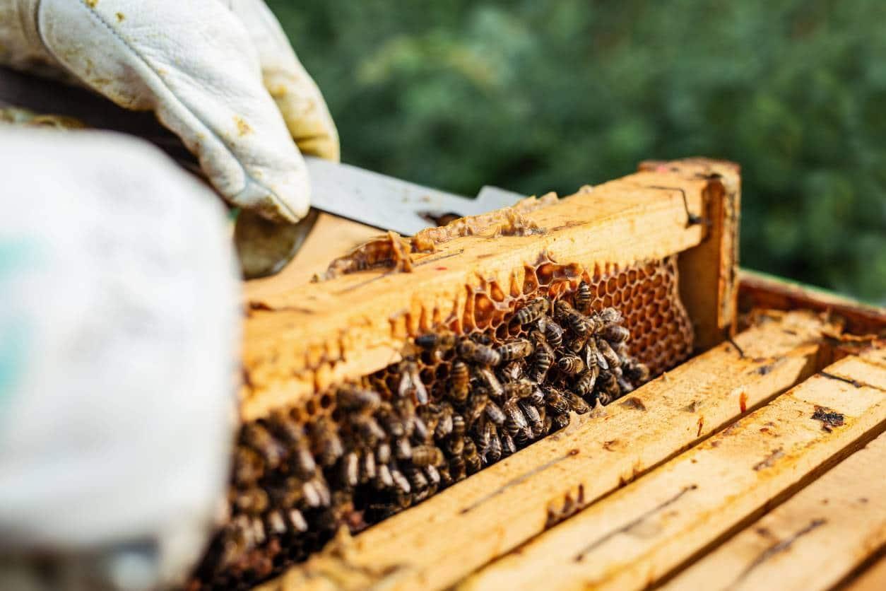 Gelée royale abeilles ruche